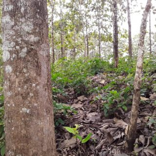 5 Acres Teak field for Sale-Moruga